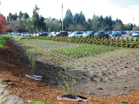 A rain garden on Cheyenne Street, one of the entrances to Cheney Stadium, is part of a city of Tacoma stormwater control project that's being finished this fall. (Courtesy photo/Greenroads)