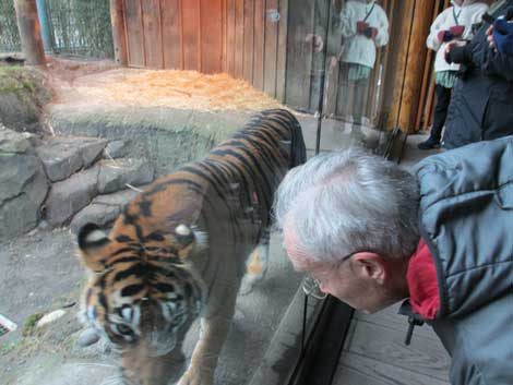 A Zoo Walk participant gets some face time with a tiger behind a clear partition at Point Defiance Zoo.