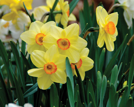 Plant daffodils and other spring flowering bulbs in the fall for extra color next spring.   (Melinda Myers/courtesy photo)