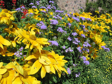 """Rudbeckia """"Prairie Sun"""" and Ageratum """"Blue Horizon"""" are examples of low-maintenance flowers that add color to gardens."""