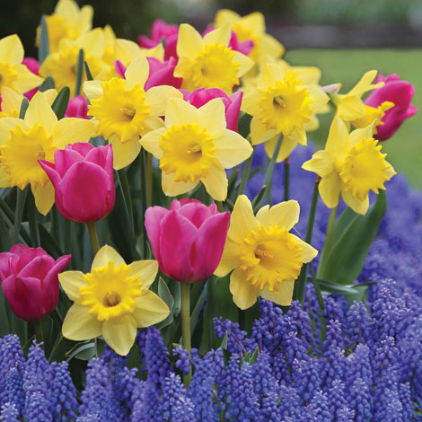 Planting bulbs now will bring colorful rewards, such as daffodils, next spring.